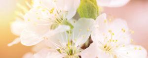 Nr 10 Crab Apple Holzapfel Verzagtheit und Verzweiflung Lemon Pharma Original Bachblüten Dr. Bach